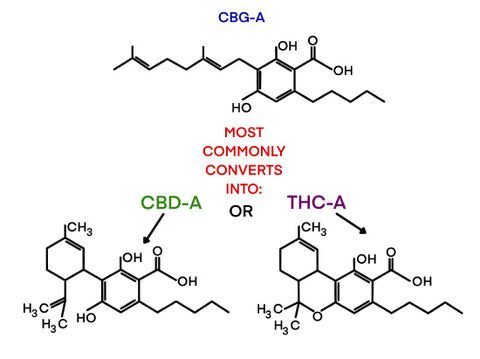 CBGA, the acid form of CBG is actually the precursor cannabinoid that is converted into CBDA and THCA. Learn more about CBG at Sauce Warehouse