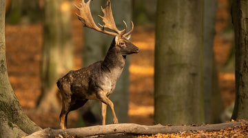 Fallow deer stag in sunny forest