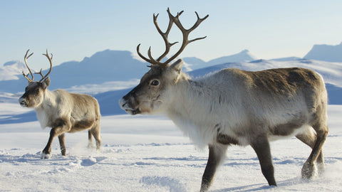 Reindeer in snow on a Swedish mountain