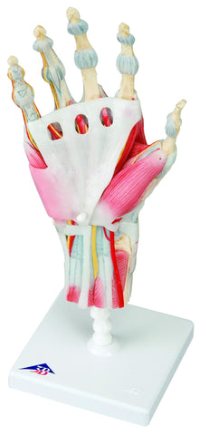 Anatomical Model - hand skeleton with removable ligaments & muscles, 4-part