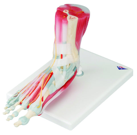 Anatomical Model - foot skeleton with removable ligaments & muscles, 6-part