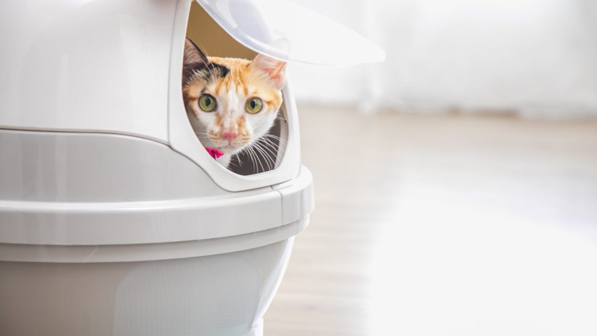 Calico cat looking out while using the CatGenie.