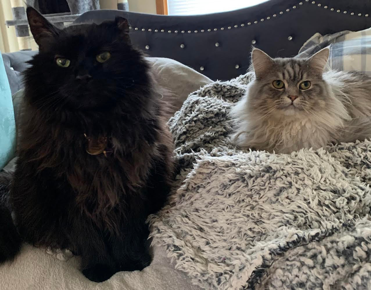 Long-haired black cat Salem and long-haired grey cat Thumper sit side-by-side on a fluffy blanket.