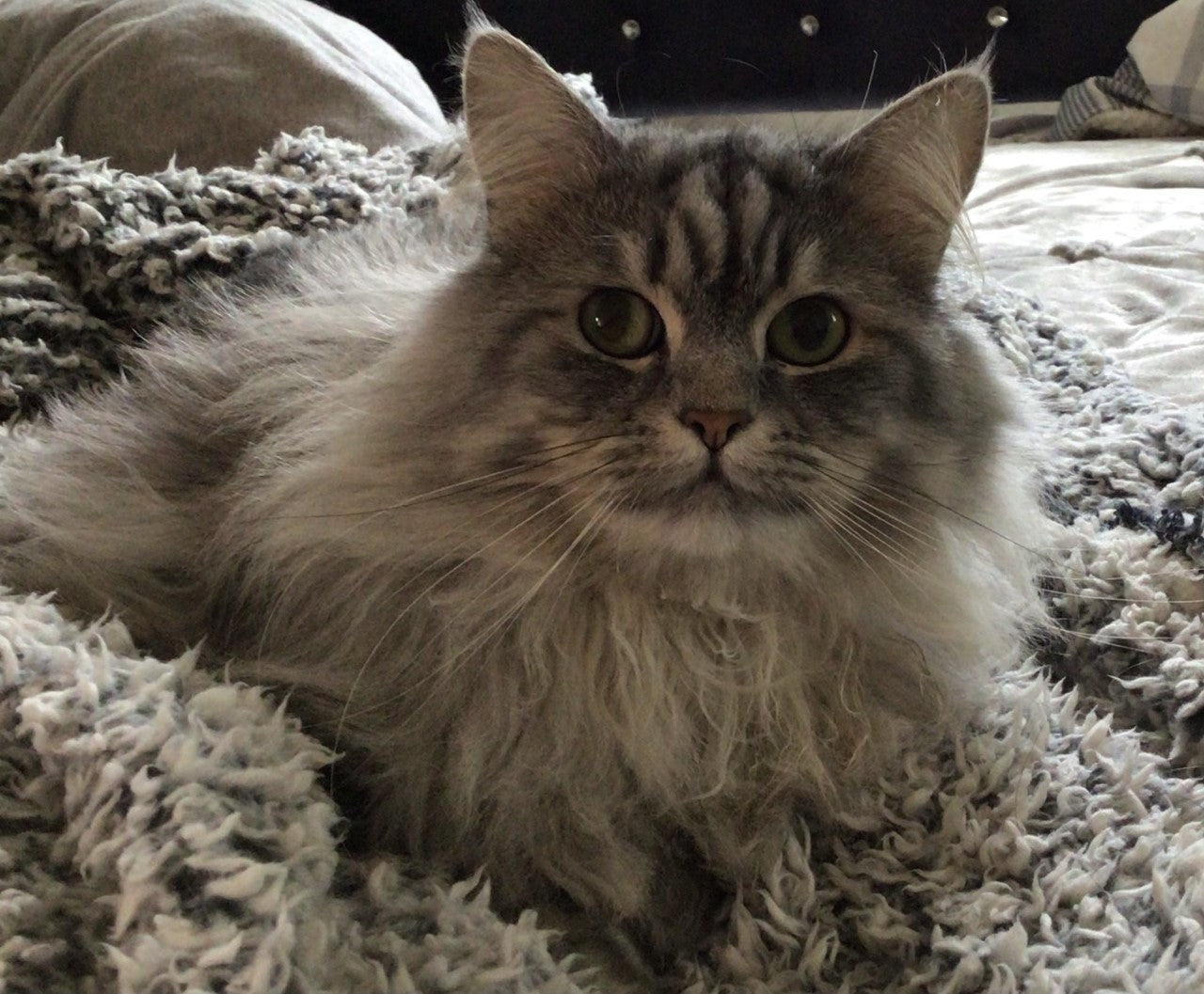 Long-haired grey cat Thumper sits on a fluffy blanket.