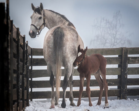 Winter Memories and First Foal on Canvas