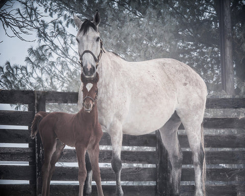 Winter Memories and First Foal 8x10 - Print