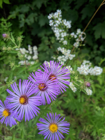 new england aster and calico aster