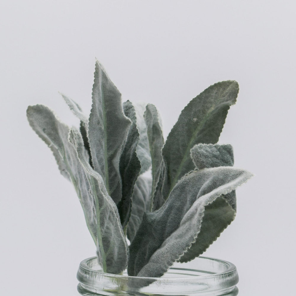Lamb's Ear Bundle 12""