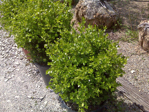 Boxwood - Winter Gem (3 gal)