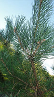 Aromatherapy Essential Oil - Pine Sylvestris (Scots Pine) - 10ml - MysticSoul_108