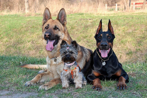 Different Dog Breeds and Sizes Lying Together in Yard