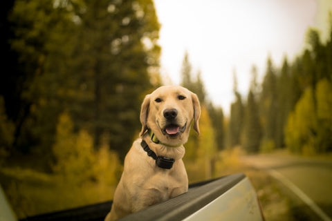 Dog with E-Collar Riding at Back of Pick-Up Truck