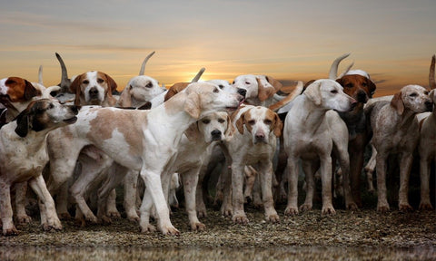 Multiple Hound Dogs in the Field