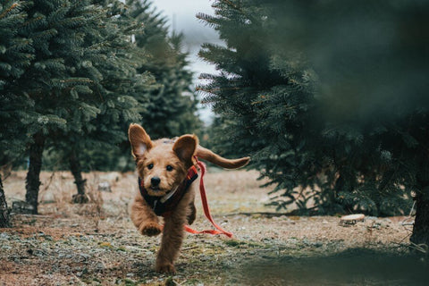 Puppy Running Through Forest with Leash Hanging