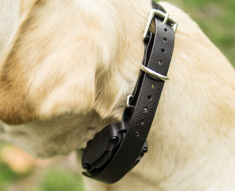 Close Up of Labrador's Neck with Remote Training Collar