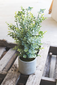 Boxwood in a Cement Pot