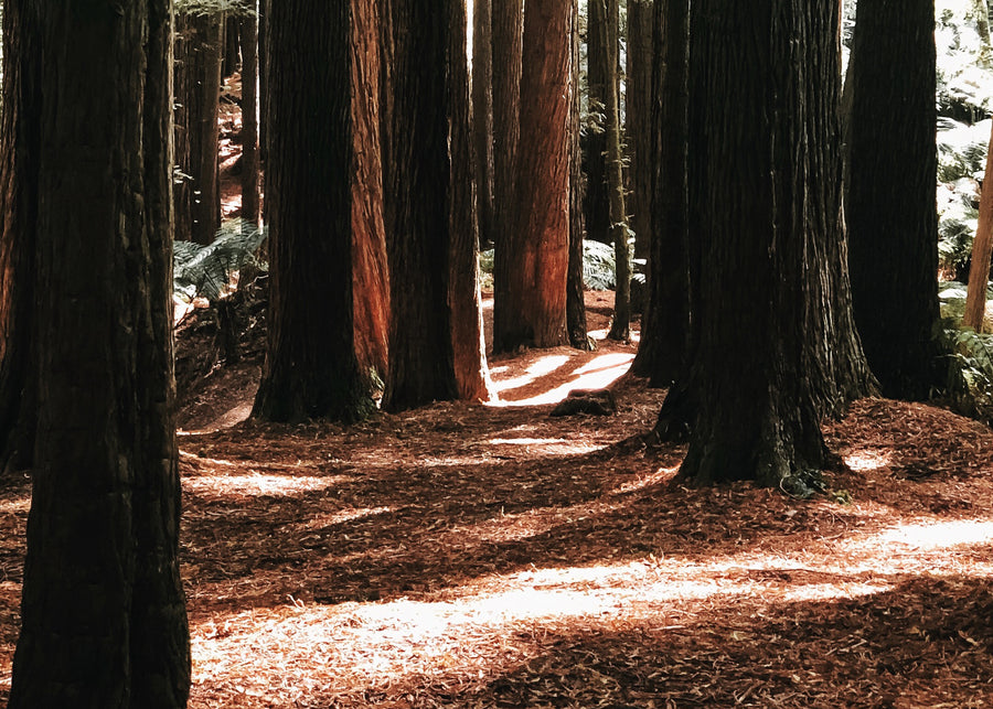 The Californian redwoods on Hike & Seek 12 Apostles, Otways & Great Ocean Road day tour