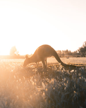 A Kangaroo eating grass on Hike & Seek 12 Apostles, Otways & Great Ocean Road day tour