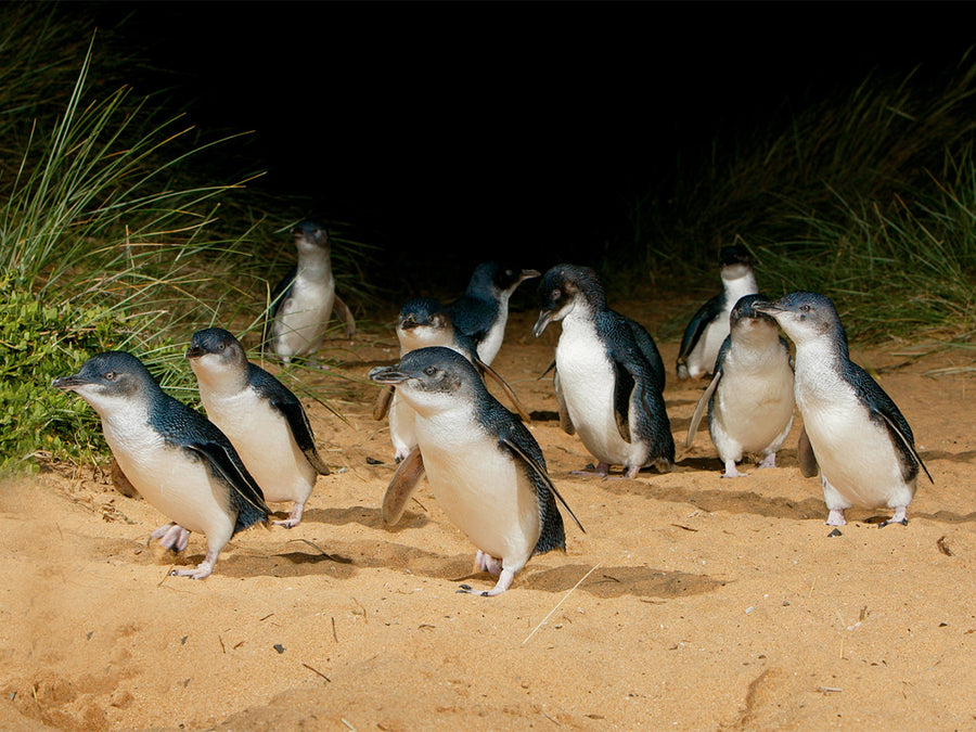 Little Penguins walk up the sand at Phillip Island Hike & Seek