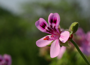 Geranium Essential Oil: Top 5 Uses