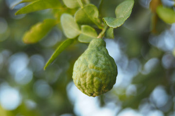 Essential Oil of the Month: Bergamot