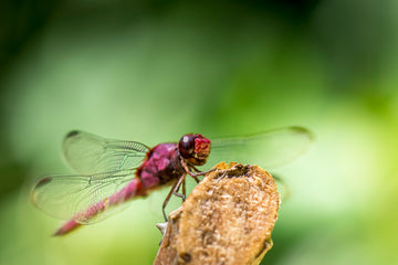 The Mystical Dragonfly