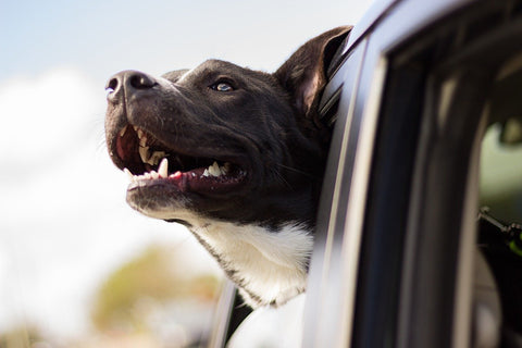 dog with head out of the car window