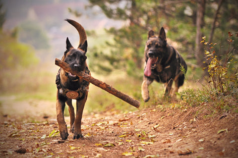 two dogs on outdoor trail, one with a stick in its mouth
