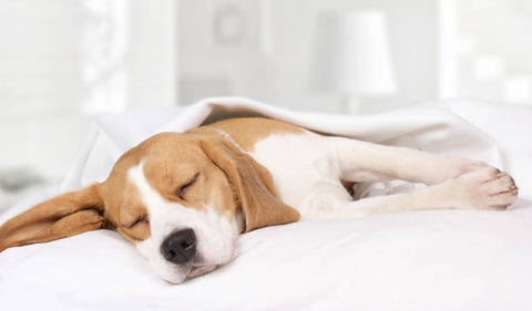 dog sleeping on a white bed with sheet on top