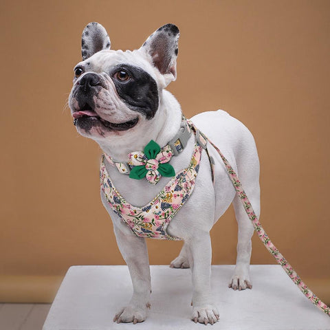 French bulldog standing on a table wearing a floral harness