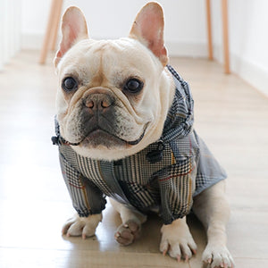Sitting French bulldog wearing rainjacket