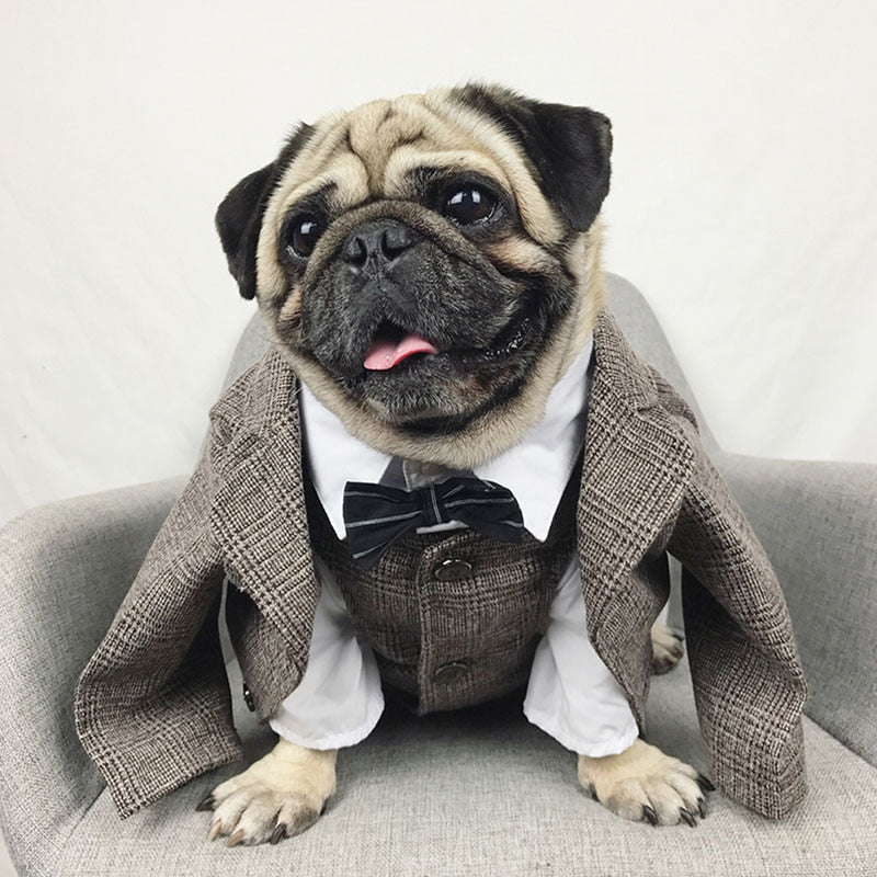 Smiling pug wearing a suit