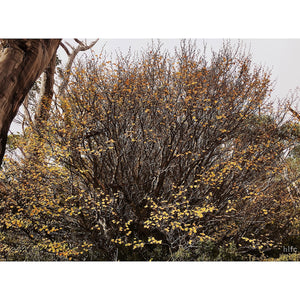 WALL HANGING - Nothofagus gunnii