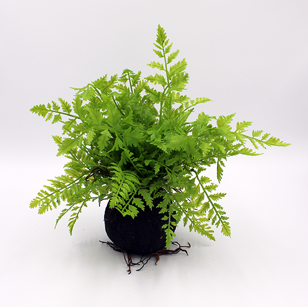 Faux Lace Fern attached to root ball on a white background