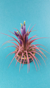 Ionantha Pink (Single)