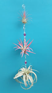 Air Plant Bling Triple Deluxe (Hanging)