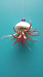 Air Plant Shell Jellies Sea Biscuit (Hanging)