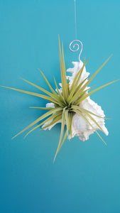 Shell Air Plant Hangers White Murex (Hanging)