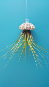 Air Plant Shell Jellies Sea Urchins (Hanging)