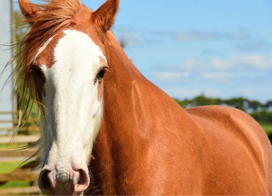 Clydesdale Cheval Western