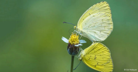 Grass Yellow Butterfly c:Sid Naique