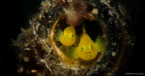 Yellow Crown Goby c: Martyn Guess.