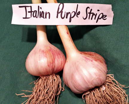 Italian Purple Hardneck Garlic. Shipping last week of August