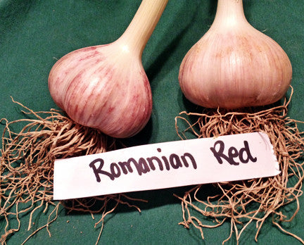 Romanian Red Hardneck Garlic. Shipping last week of August