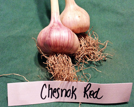 Shvelisi (Chesnock Red) Hardneck Sold Out