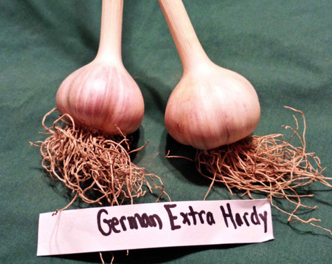 "German White ""Extra Hardy"" Hardneck Garlic. Shipping last week of August"