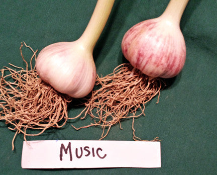 Music Hardneck Garlic. SOLD OUT