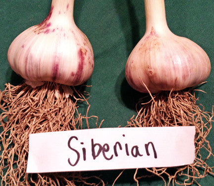 Siberian Hardneck Garlic. Sold Out