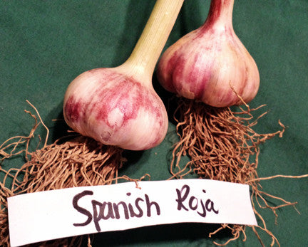 Spanish Roja Hardneck Garlic.Shipping last week of August