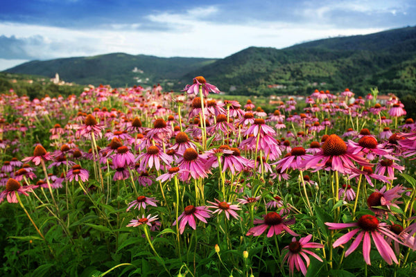 He's Just Not That Into Flu: Echinacea & The Endocannabinoid System - Element Apothec